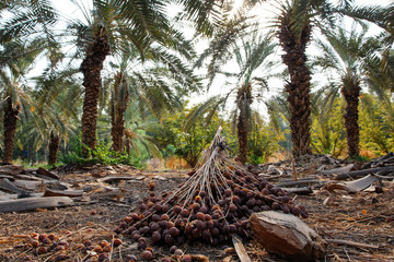 Palm trees with lots of dates, Israel