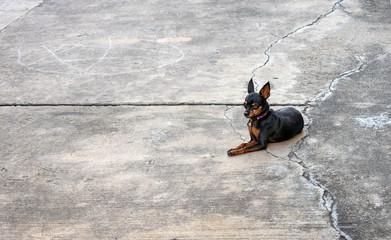 Miniture Dog Breed, Miniature Pinscher Rests on Driveway.
