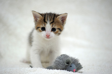 cute white with brown little kitten and toy mouse