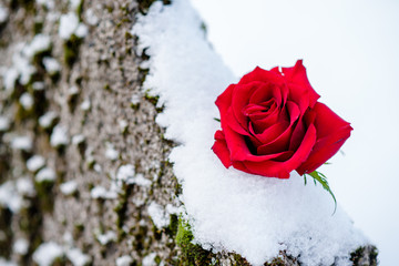 A flower of a red rose on a winter graveyard during a funeral
