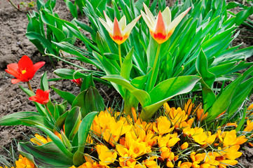 Bright yellow crocus and tulips - the first flowers of spring.