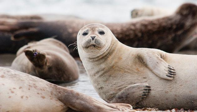 Horsehead seal on Helgoland Island, German Bight, Germany