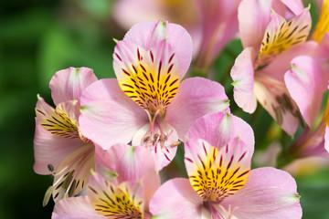 アルストロメリアの花