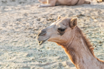 Portrait of a camel with blurred background.