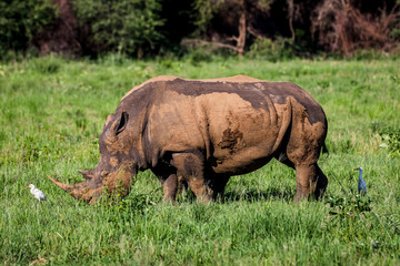 Poster Rhino White rhino, covered in mud, eating grass in City of Tshwane, Gauteng, South Africa