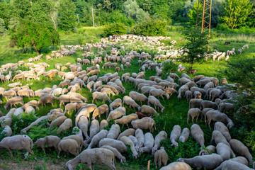 Wall Murals Sheep flook of sheep