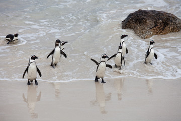 Colony African penguin (Spheniscus demersus) on Boulders Beach near Cape Town South Africa coming back from the sea
