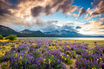 A beautiful sunset explodes over a gorgeous field of wildflowers on the shoreline of Lake Tahoe as seen from Kiva Beach near South Lake Tahoe, California.