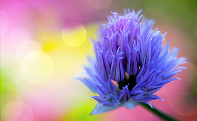 Purple Chives flowers isolated on colorful blur background.