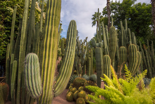 Panorama of The Majorelle Garden is a botanical garden and artist's landscape park in Marrakech, Morocco. Jardin Majorelle Cactus and tropical palms. Paradise inside the desert country