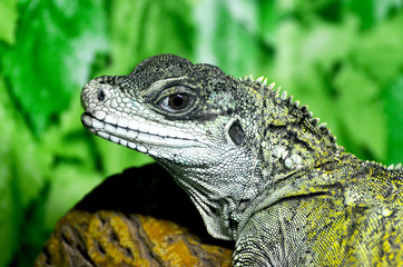 Close-up portrait of a resting green color male Green iguana,photo