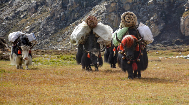 Caravan of yaks carrying heavy load on the way to Lhonak village. Kangchenjunga area, Nepal