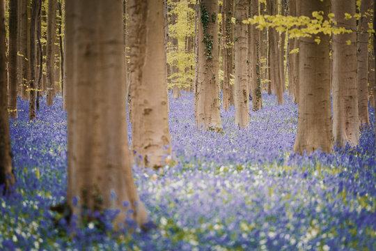 Hallerbos Bluebells Forest, Belgium. Enchanted