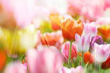 Fotoväggar - tulpen bunt licht strahlen