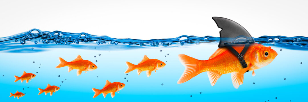 Small Brave Goldfish With Shark Fin Costume Leading Others  - Leadership Concept