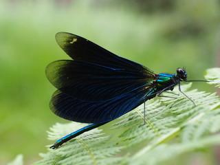 Blau-Schwarze Libelle