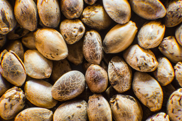 Many Cannabis seeds. Organic Hemp seed. Top view. Macro detail of marijuana seed. Hemp seeds background in macro.