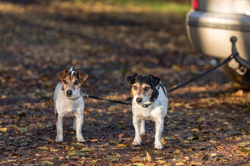 Two little Jack Russell Terrier dogs are tied to a car waiting for their owner