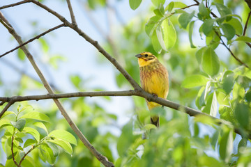 A yellowhammer perched on a branch among green leaves