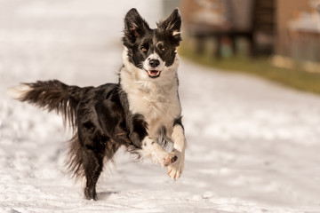 Border collie dog in snowy winter. Dog running and having fun in the snow