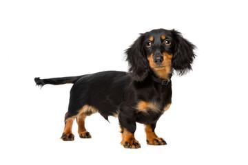 young dachshund