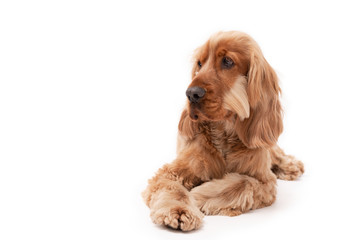A golden ginger Cocker Spaniel dog isolated on white background laying down