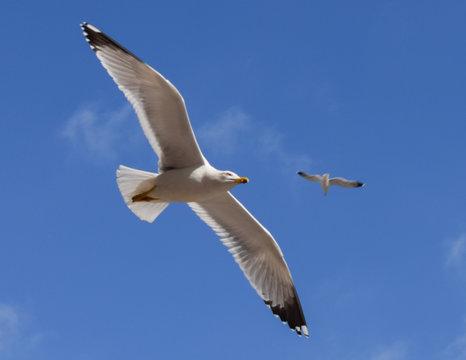 Flight of a seagull on a blue sky