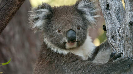 Koala bear in eucalyptus tree, portrait
