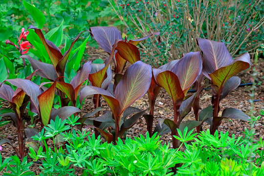 Canna flower leaves in the botanical garden