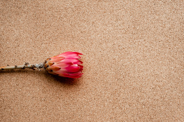 A scarlet flower bud on a beautiful pink background. Picture of flowers.