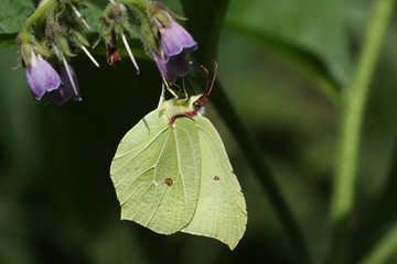 A beautiful Brimstone Butterfly (Gonepteryx rhamni) nectaring on a Comfrey flower (Symphytum officinale).
