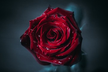 red velvet rose on a blue background with droplets of moisture
