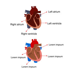 Biology - Structure of the heart