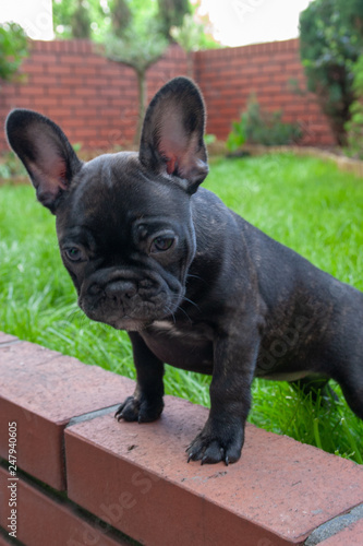 Szczeniak Buldog Francuski Czarny Stock Photo And Royalty Free