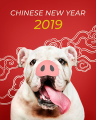 Wall Mural - Adorable Bulldog puppy with a snout in front of a Chinese New Year background
