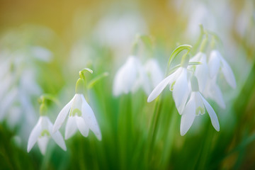 Snowdrops in Spring, selective focus, soft background image