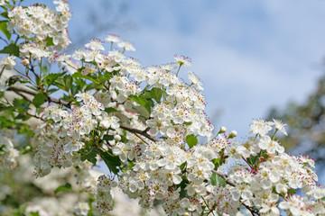 Weißdornblüten im Frühling