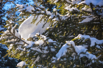 Close up Pine Tree Branches covered with snow.