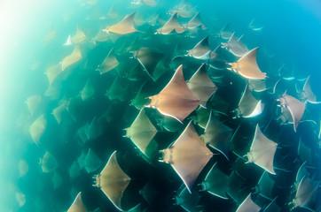 Mobula rays, sea of cortez, mexico