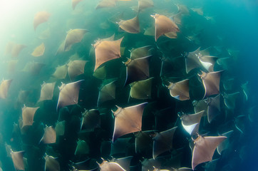 Mobula rays, sea of cortez, mexico
