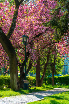 cherry blossom in the park. beautiful urban scenery in the morning. scene with bench and lantern. sunny weather.
