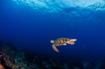 Sea turtle resting in the reefs of Cabo Pulmo National Park. Baja California Sur,Mexico.