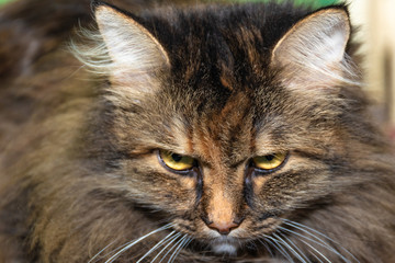 cat close-up, angry emotion