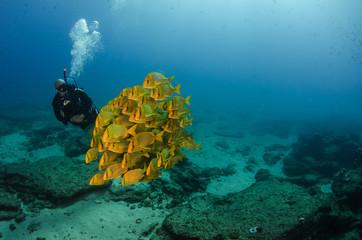 Panamic porkfish (Anisotremus taeniatus),colorful yellow fish in a school, baitball or tornado, the Sea of Cortez. Cabo Pulmo, Baja California Sur, Mexico. Cousteau named it The world's aquarium.