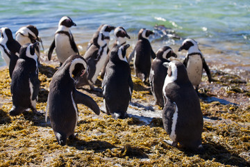 Colony African penguin (Spheniscus demersus) on Boulders Beach near Cape Town South Africa relaxing in the sun on stones and algae sunshine day