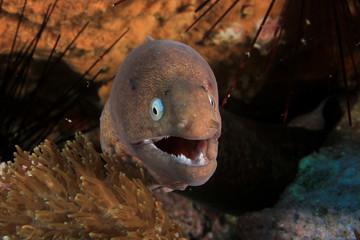 White-eyed Moray Eel