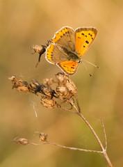 Sooty Copper , Lycaena tityrus, wildlife, butterfly, czech
