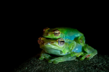 Green Tree Frog at Night in Borneo / Malaysia Mulu National Park