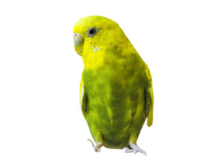 Yellow Budgerigar on white background.  Yellow budgie close up shot. Budgerigars isolated. Yellow bird.Budgerigar close up on the bird cage.Melopsittacus undulatus.Wavy parrot sits on a perch.