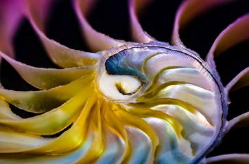 Nautilus Perlboot Meerestier Spirale rundes Kalkgehäuse, lebende Fossilien Close Up Detail Struktur